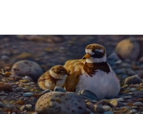 A New World (Ringed Plover)