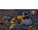 A New World (Ringed Plover) by Wayne Westwood
