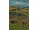 Highland Cattle by Stephen Hawkins