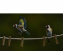 Pegged Out (Birds On Line) by Wayne Westwood